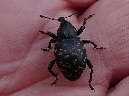 Kleiner Pestwurzrüssler - Liparus cf. germanus, NGID1901750794