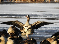 Greater White Fronted Goose on Lake Artemesia