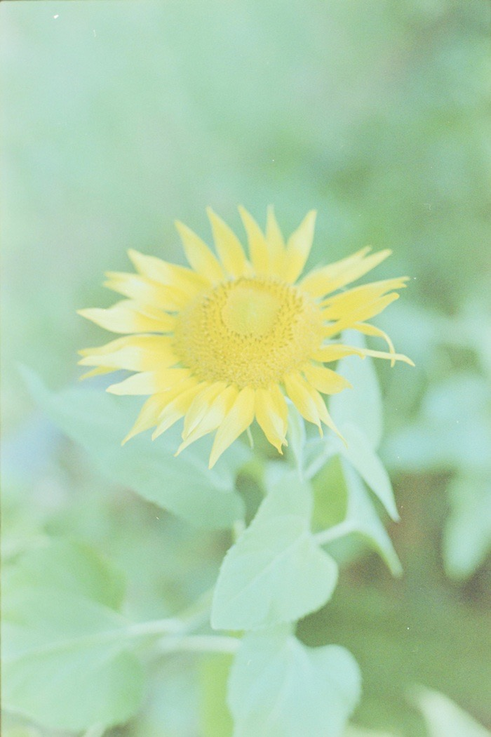 Slide film - sunflower