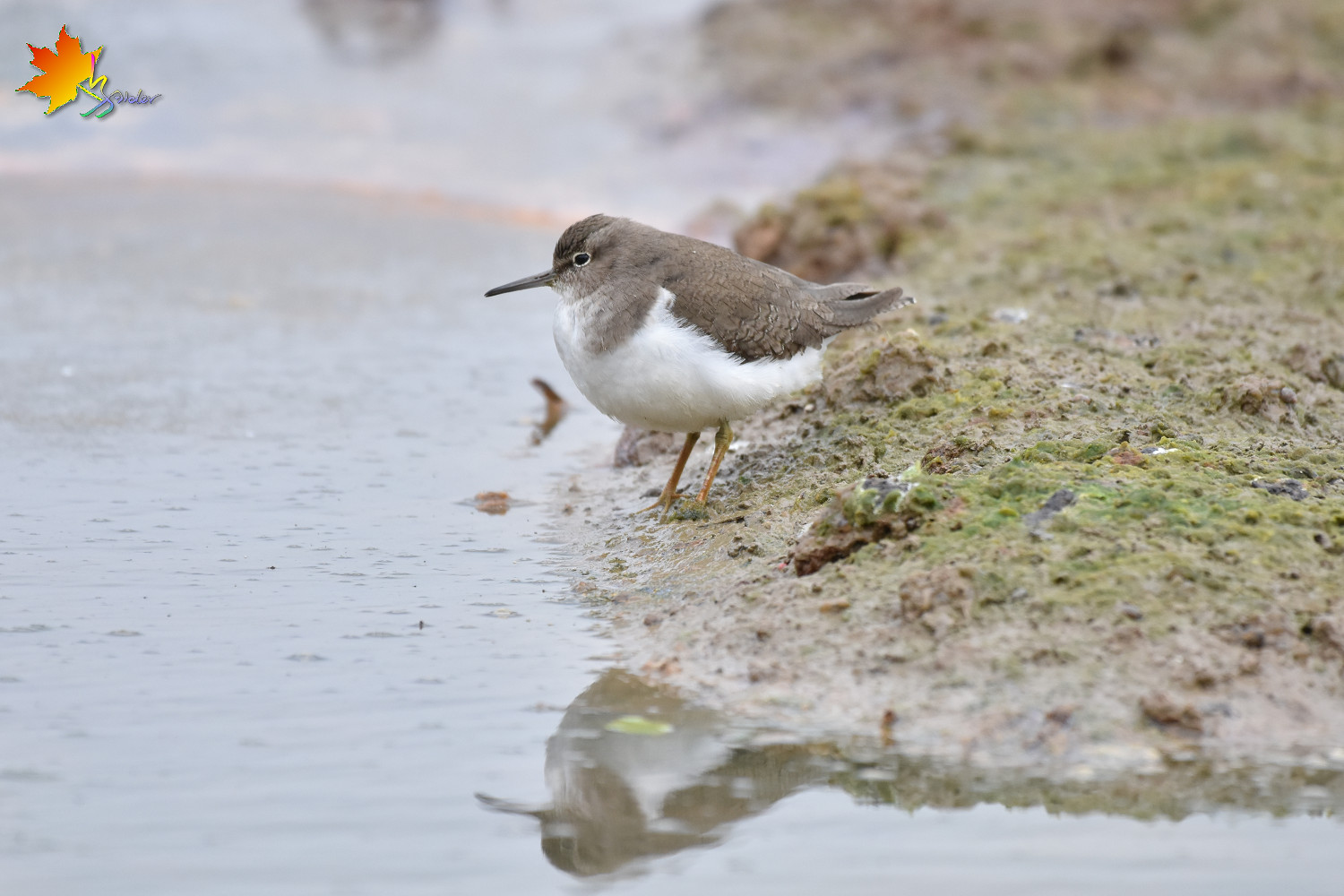 Common_Sandpiper_8809