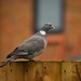 Tommy the Wood Pigeon
