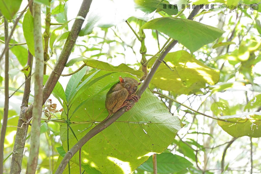 菲律賓 薄荷島 眼鏡猴