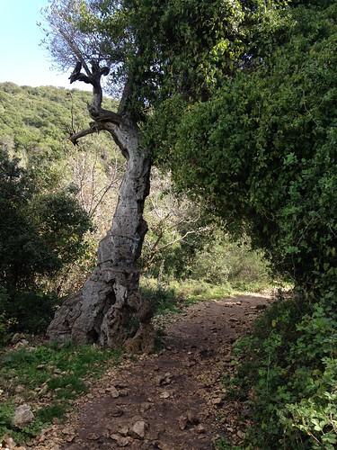 Cubist Olive Tree