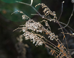 Winter-Goldenrod--_E0A0360