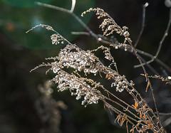 Winter-Goldenrod--_E0A0360