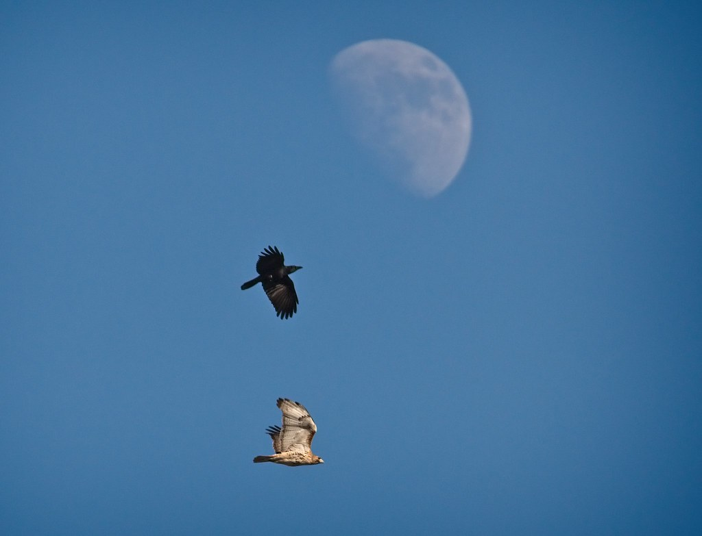 A hawk, a crow and the moon