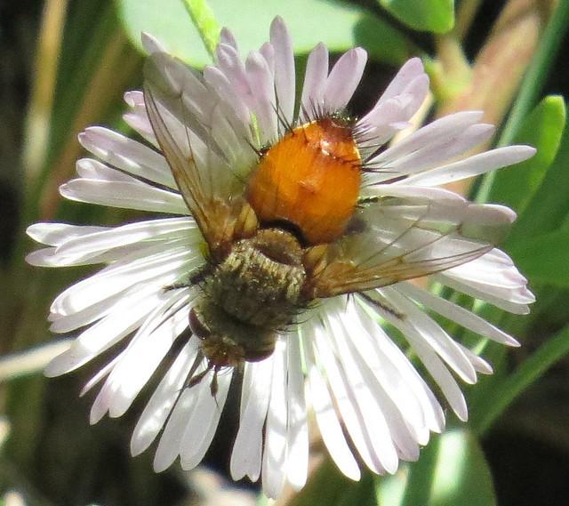 A special look - Tachinid fly (Adejeania vexatrix), Mesa Verde National Park, Colorado, June 2017