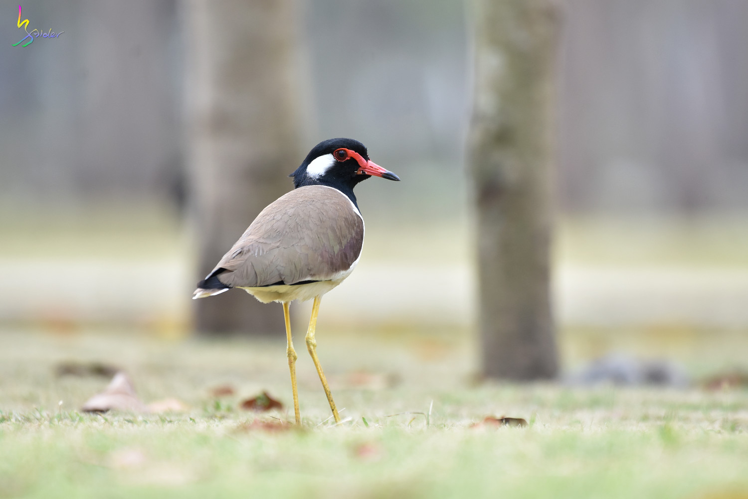 Red-wattled_Lapwing_4476