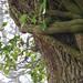 20171219 Tree Creeper Church Lane Inkberrow Worcestershire