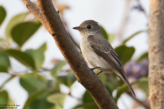 Asian Brown Flycatcher, Muscicapa, Canon EOS 7D MARK II, Canon EF 500mm f/4L IS