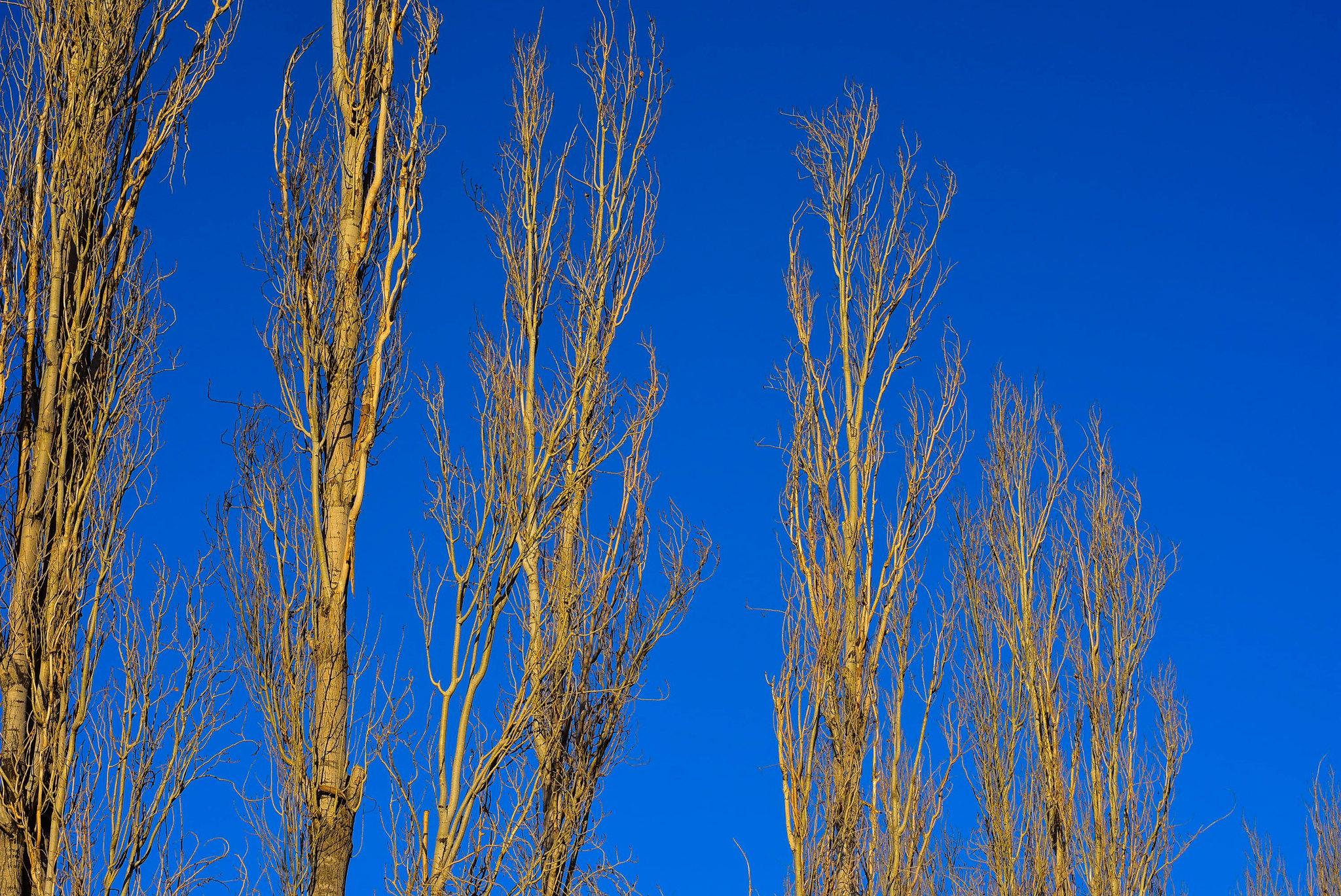line of tree in blue sky