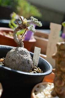 DSC_0984 Pelargonium triste  ペラルゴニウム トリステ