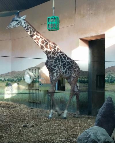 Giraffe (4) #toronto #torontozoo #mammal #giraffe #latergram