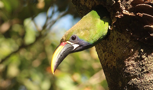 Emerald_Toucanet | by Oregon State University