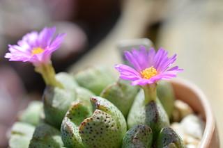 DSC_6599 Conophytum taylorianum コノフィツム タイロリアナム