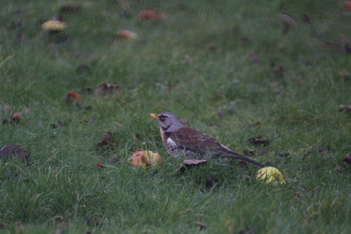 Fieldfare in my garden