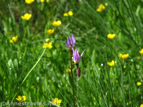 Shooting star flower and buttercups in Tuolumne Meadows, Yosemite National Park, California
