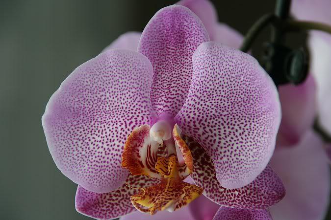 Les orchidées chez Sougriwa - Page 3 39109048014_d51f708a78_b