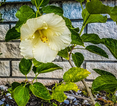 White Hibiscus  S7   2018-01-11-095600