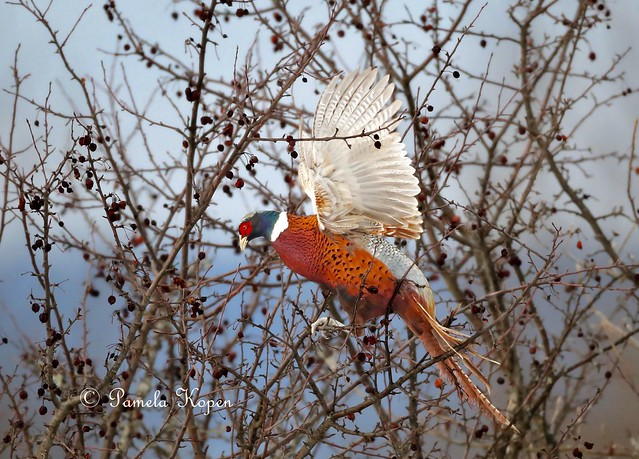 Pheasant in a crabapple, Canon EOS-1D X MARK II, Canon EF 800mm f/5.6L IS