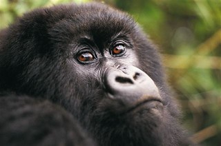 gorila_2