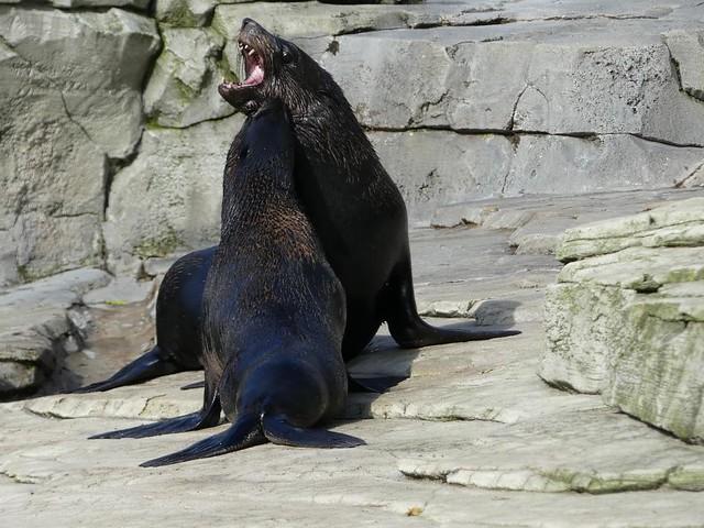 Seebär, Zoo Frankfurt