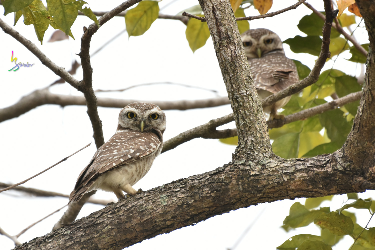 Spotted_Owlet_2553