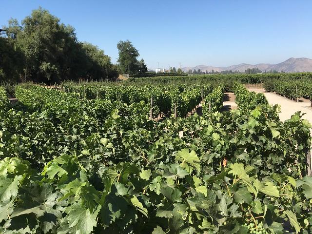 ワイン畑…じゃない、ぶどう畑