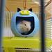 Hamster à Blida
