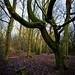 Tree shape. Lilford wood. Leigh...