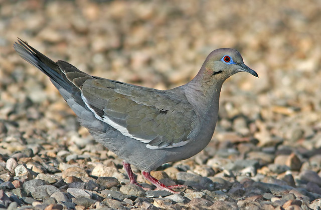 2-White-Wing-Dove_08
