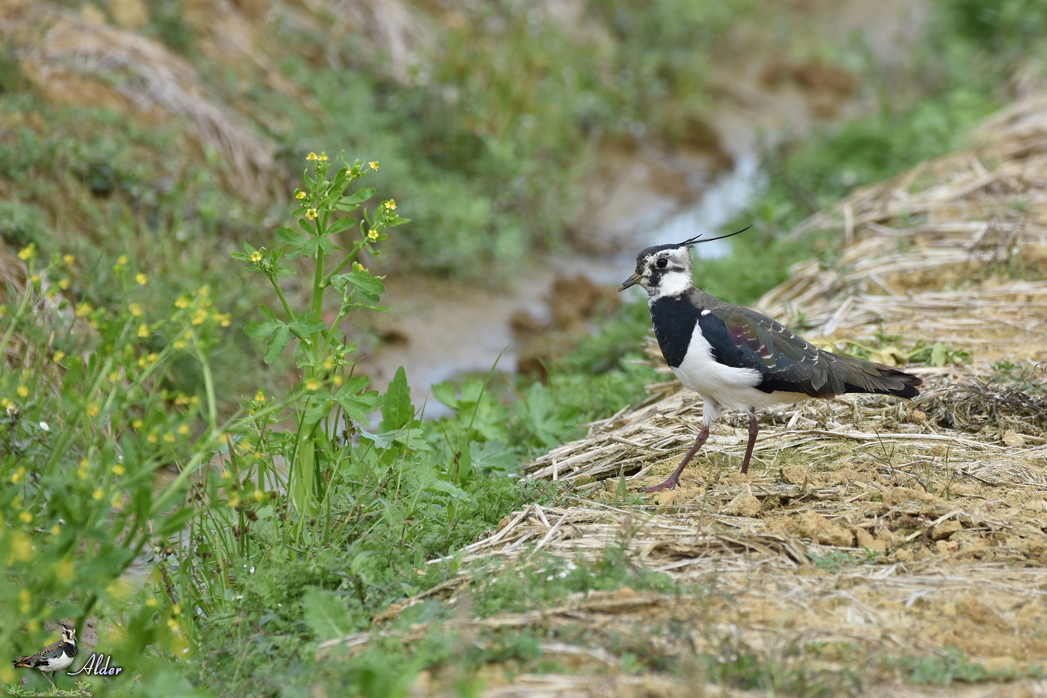 Northern_Lapwing_7354