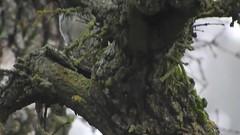 011318acornwoodpecker