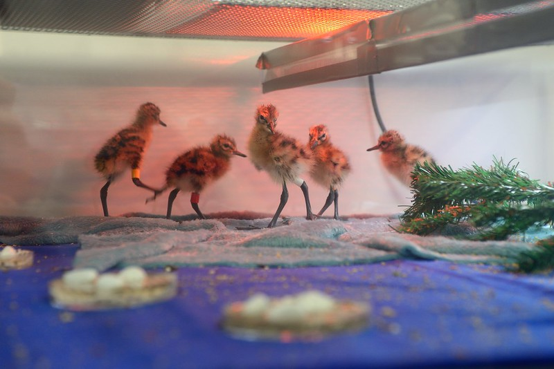 Godwit chicks during early stage rearing, 9 May 2017