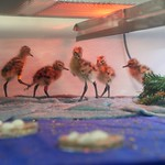 Godwit chicks during early stage rearing, 9 May 2017 Credit WWT