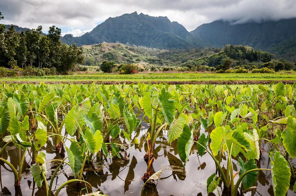 Taro Field  near Hanalei Kauai