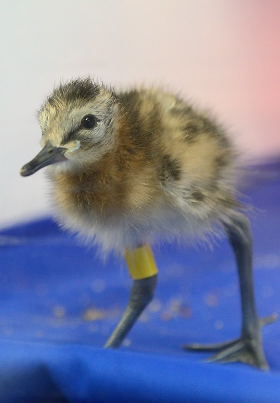 Young godwit chick WWT 2017