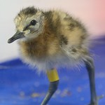 Young godwit chick Credit WWT 2017