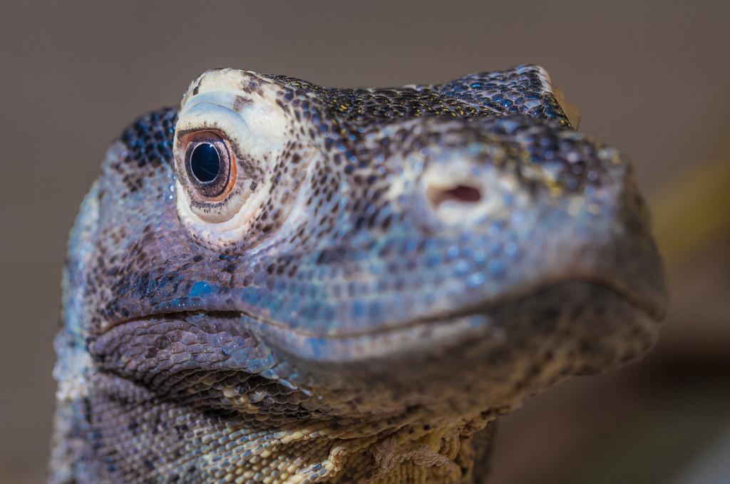 Komodo Dragon_3