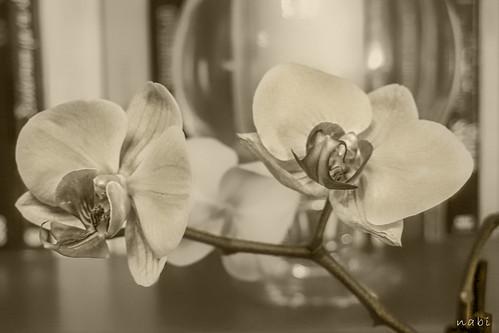 Orchidaceae..