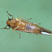 Zygina flammigera, Kingmoor Nature Reserve, 18 January 18 (2 of 2)