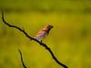 Scaly-breasted munia (புள்ளிச் சில்லை குருவி)