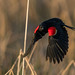 Red-winged Blackbird by fred h