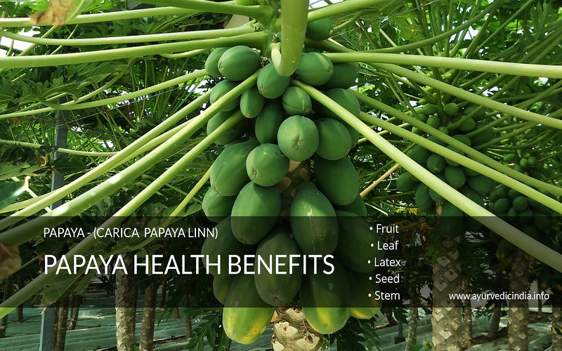 papaya health benefits-Fruit-Leaf-Latex- Seed