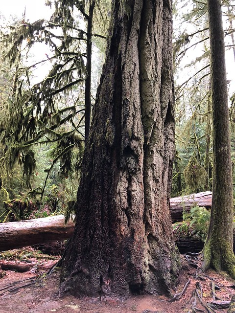 Tofino - Cathedral Grove - great big tree