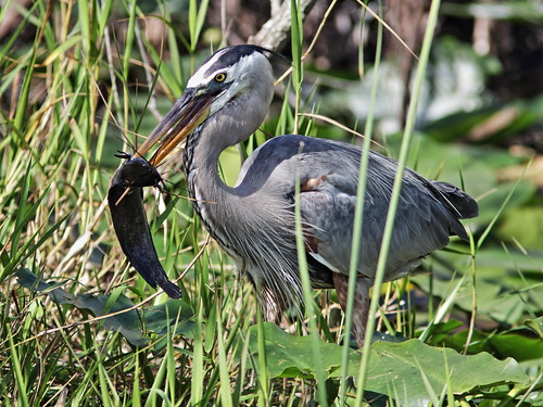 Great Blue Heron with Walking Catfish 001-20180209