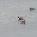 Northern Pintail (1 of 1)