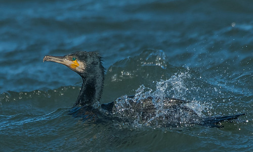 Great Cormorant in the wash
