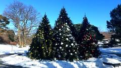 NYBG Christmas Trees II