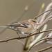 Chaffinch ( Fringilla coelebs ) Female